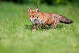 روباه مکار بازیگوش