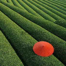 مزارع چای٬ چین