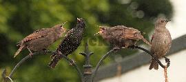 پرندگان خشمگین