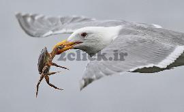 مرغ خرچنگ خوار