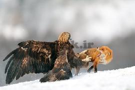 جنگ روباه و عقاب
