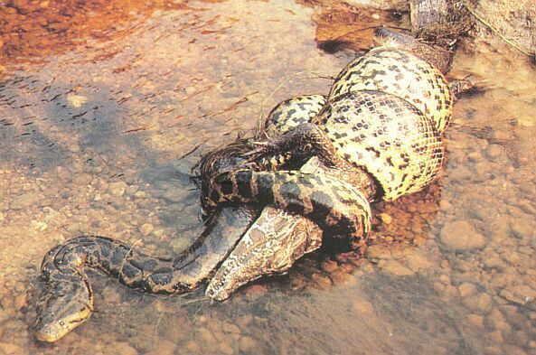 مار در حال خوردن تمساح
