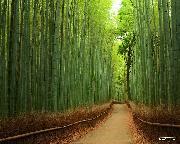 جنگل بامبو٬ ژاپن
